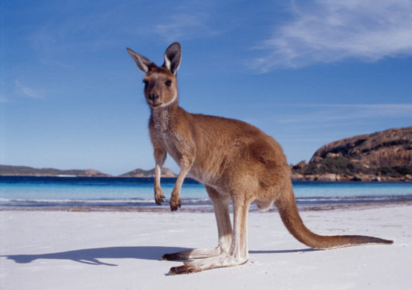 AustraliaуKangaroo